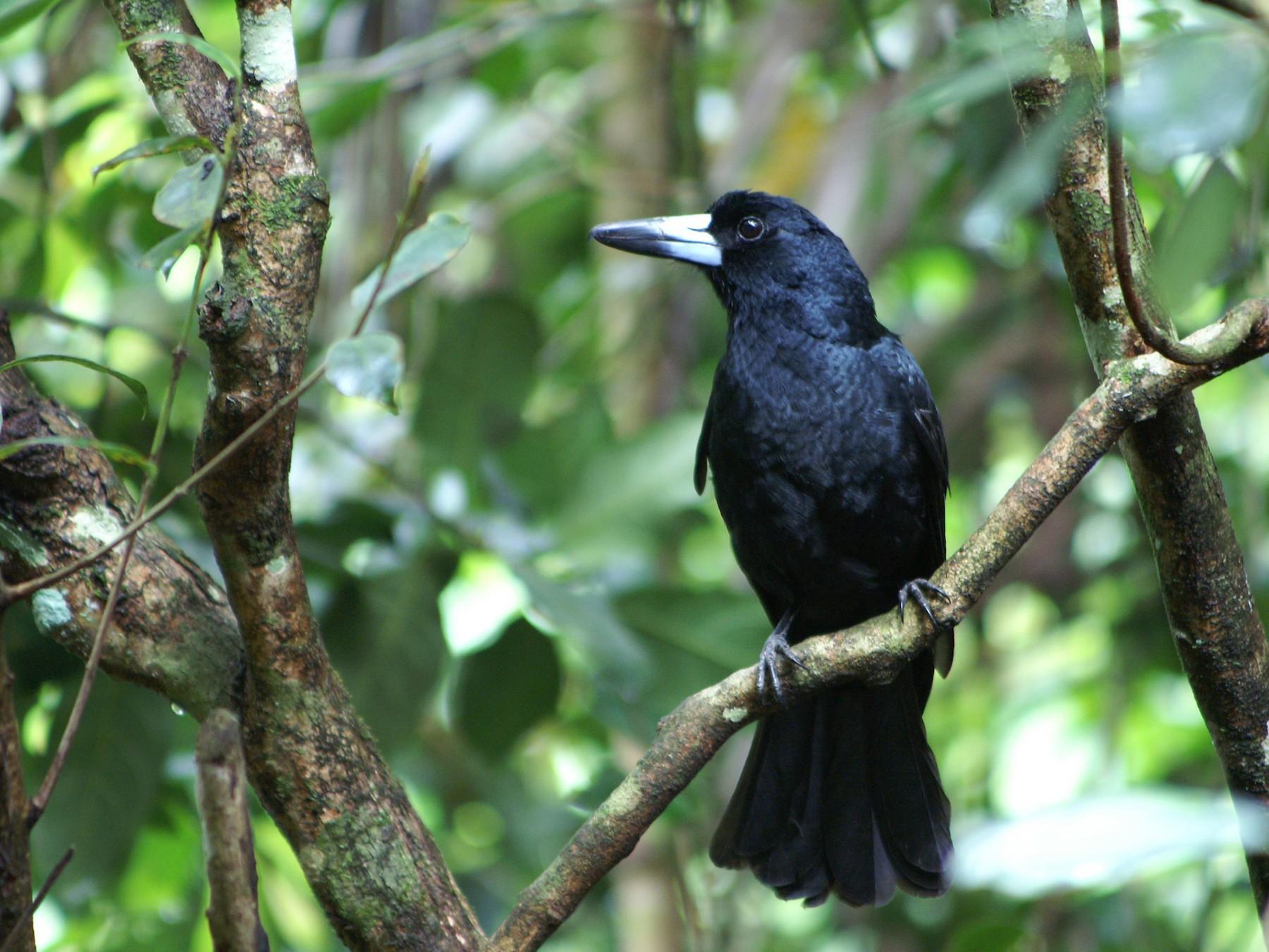Black Butcherbird - John Sullivan
