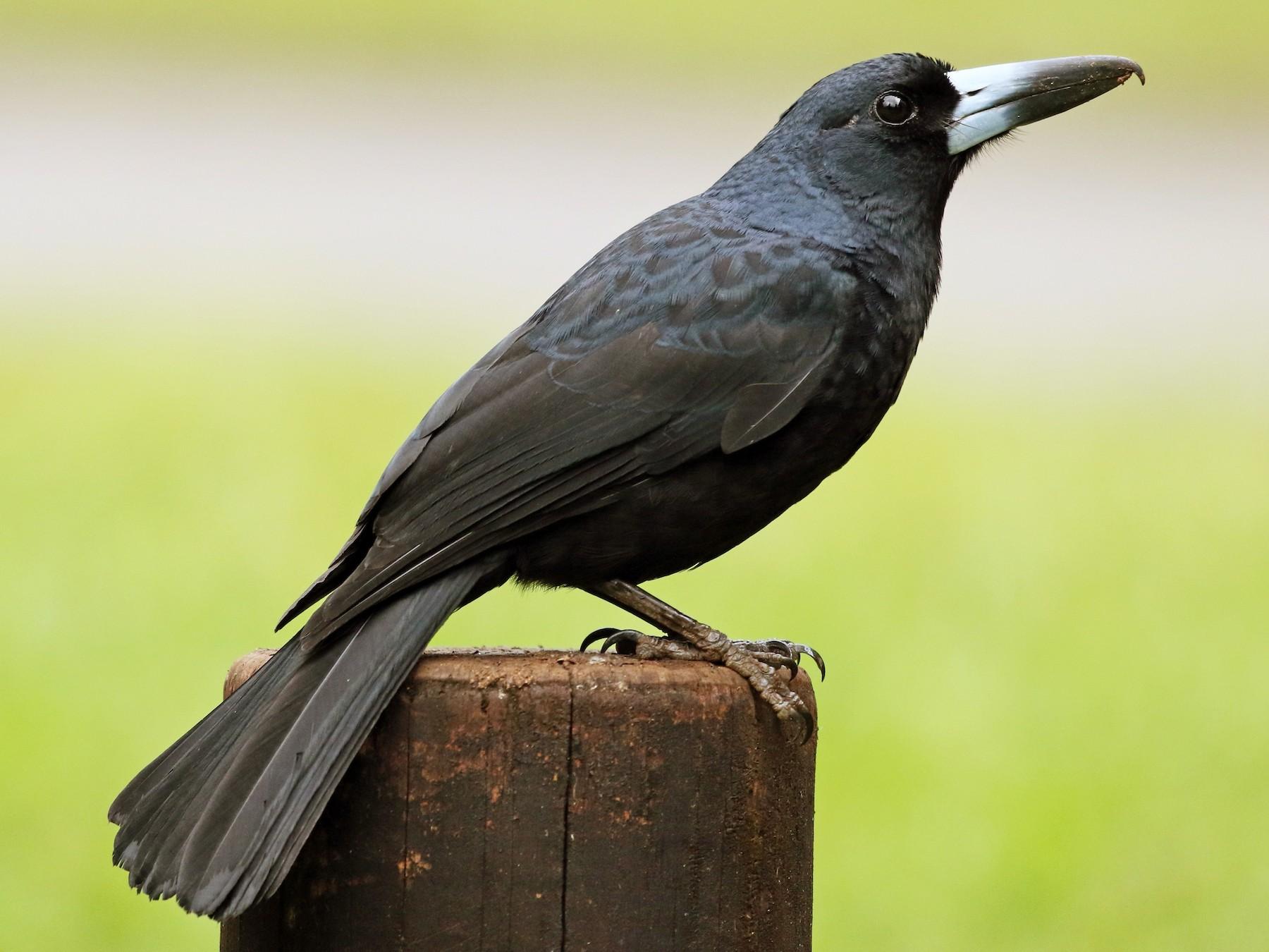 Black Butcherbird - David Ongley