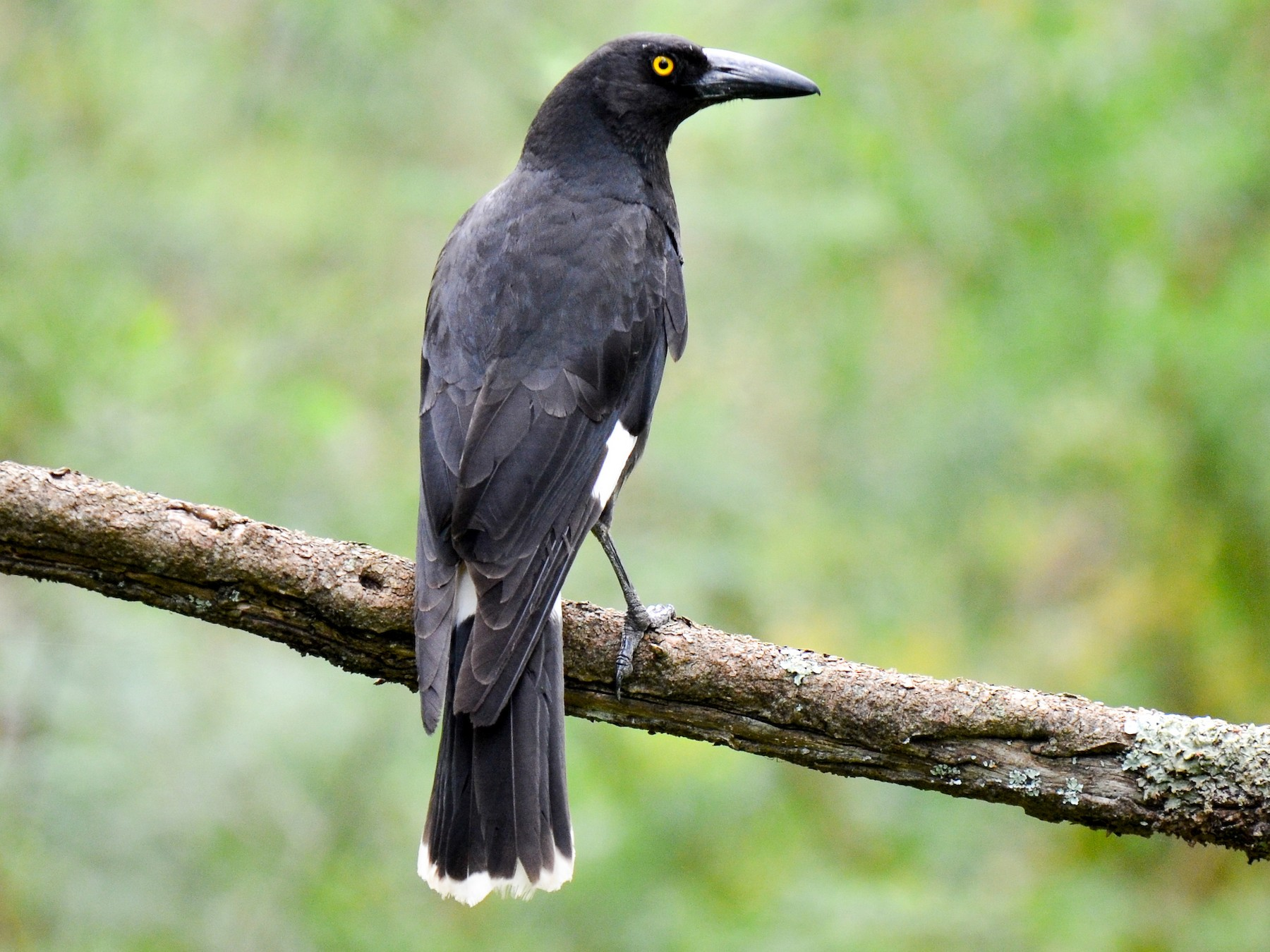Pied Currawong - Bruce Wedderburn