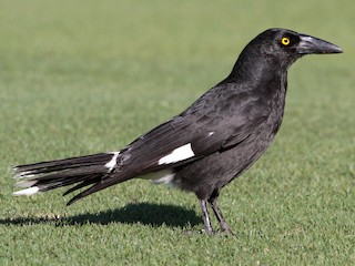 - Pied Currawong