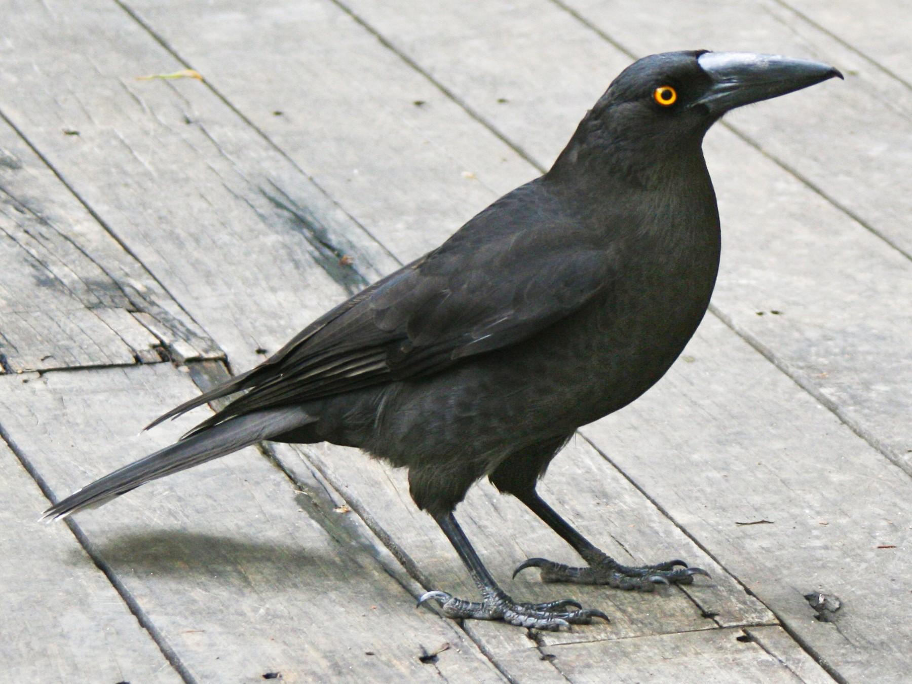 Black Currawong - Stuart Malcolm