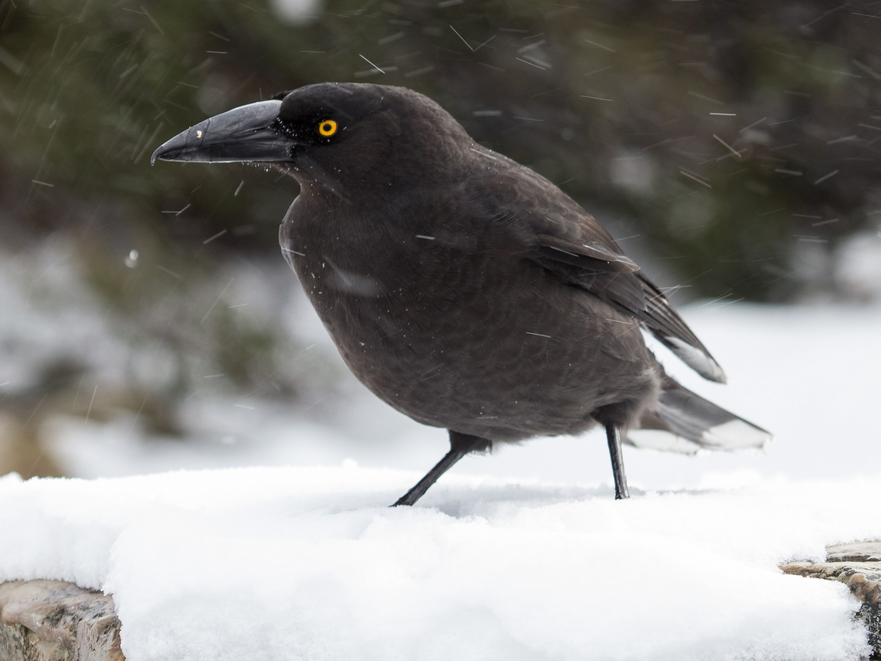 Black Currawong - Ramit Singal
