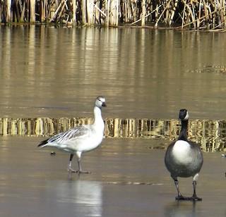 Snow Goose, ML125736091