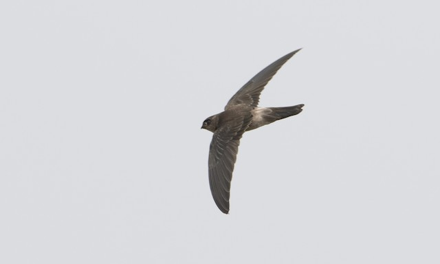 Germain's Swiftlet