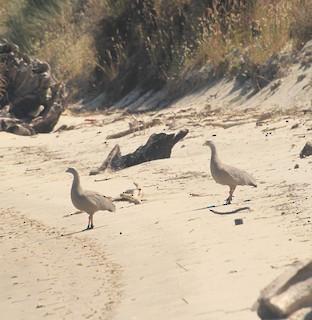 Cape Barren Goose, ML125766091