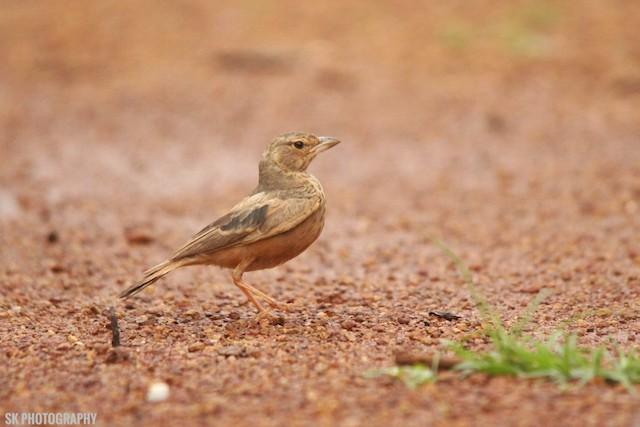 ©Santhosh Kallingal - Rufous-tailed Lark