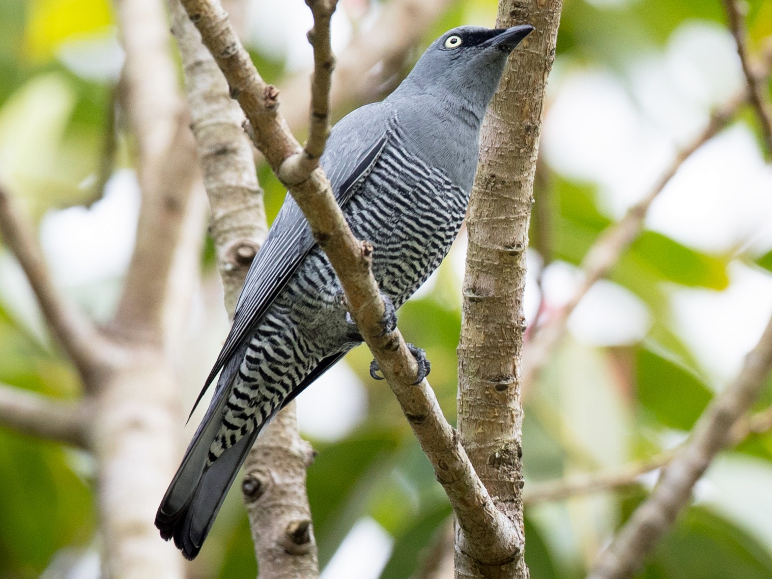 Barred Cuckooshrike - Ian Davies