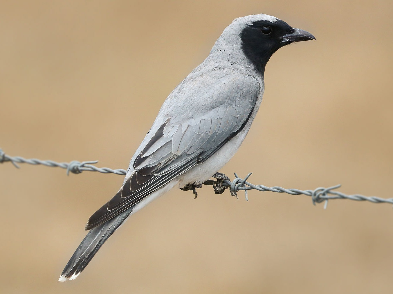Black-faced Cuckooshrike - Ged Tranter