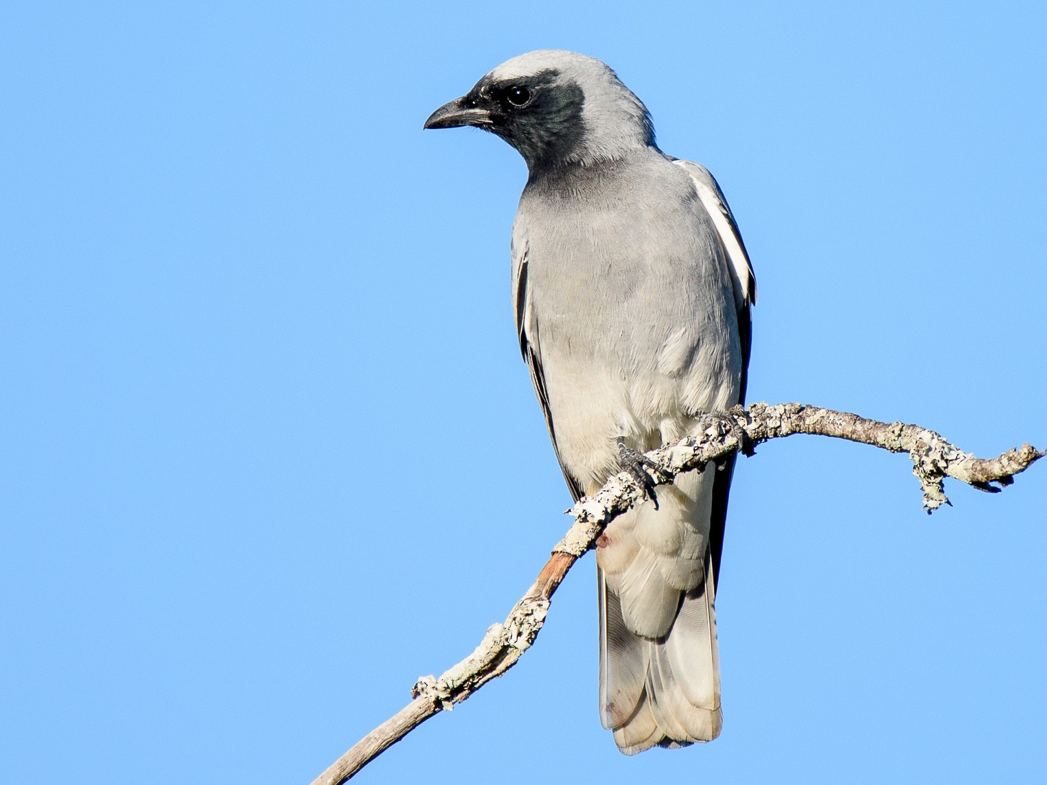 Black-faced Cuckooshrike - Adam Higgins
