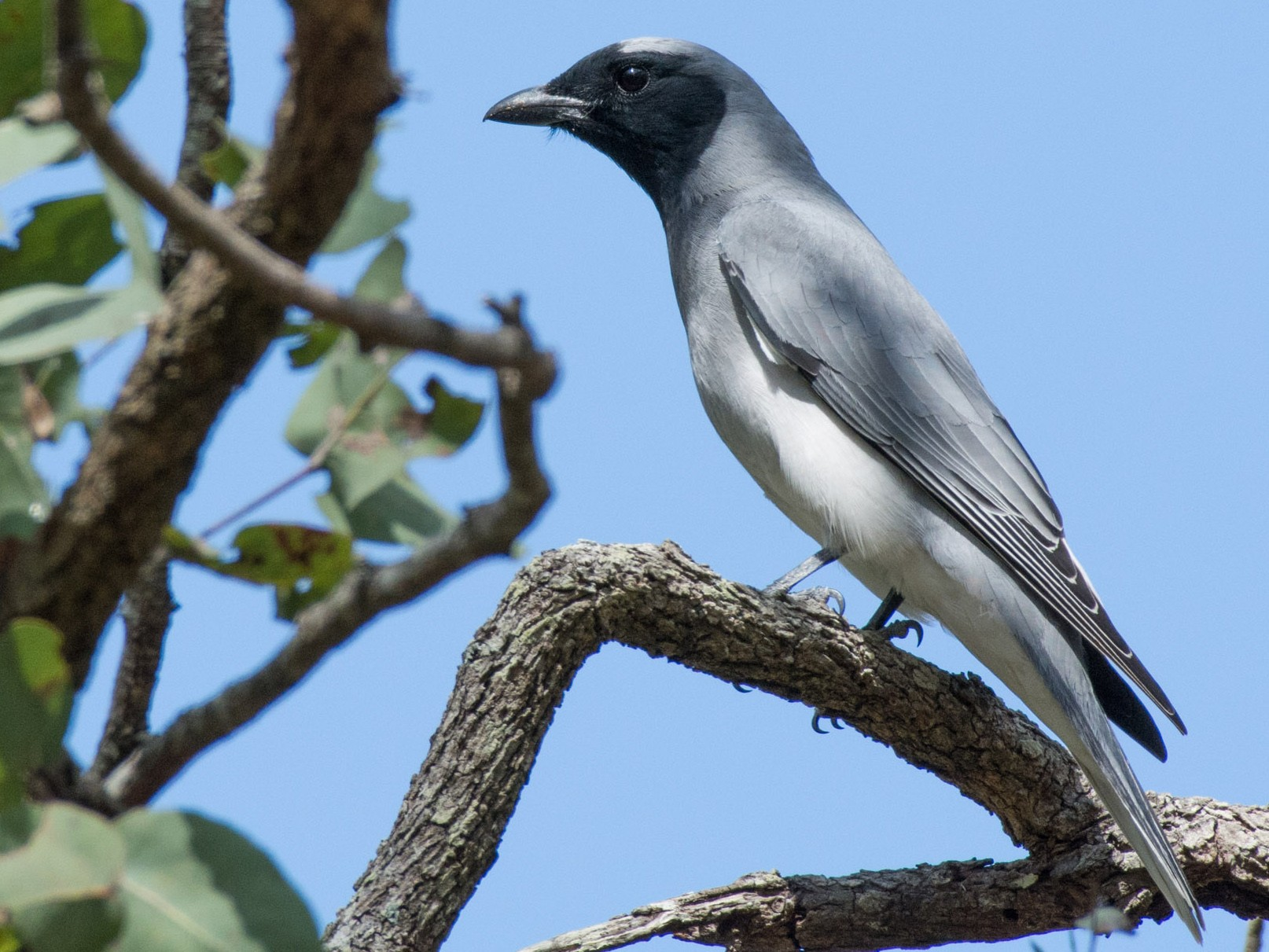 Black-faced Cuckooshrike - Delia Walker