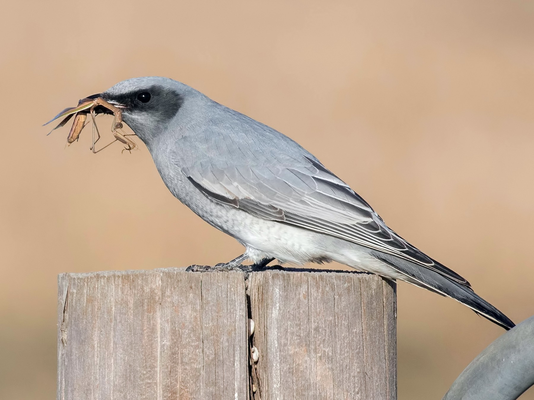 Black-faced Cuckooshrike - Feathers & Beyond Photography Luke Leddy