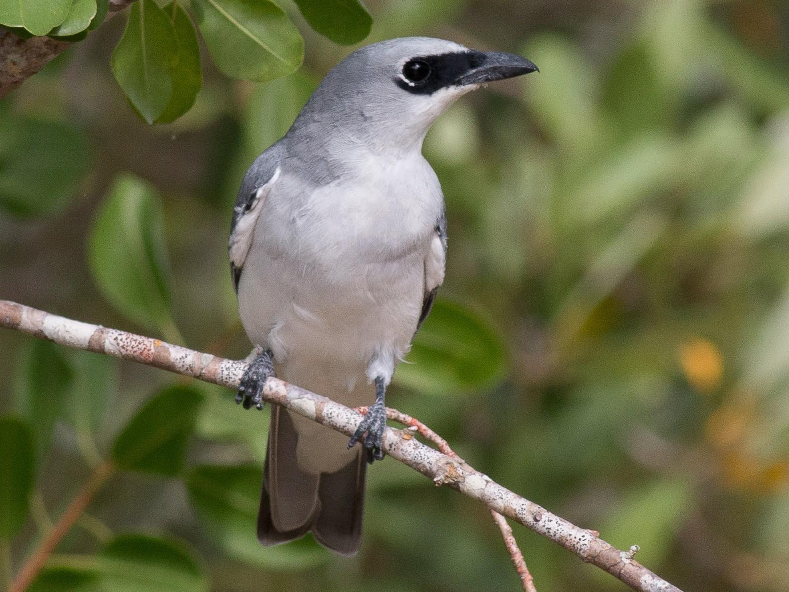 White-bellied Cuckooshrike - Hans Wohlmuth