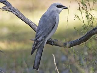 - White-bellied Cuckooshrike