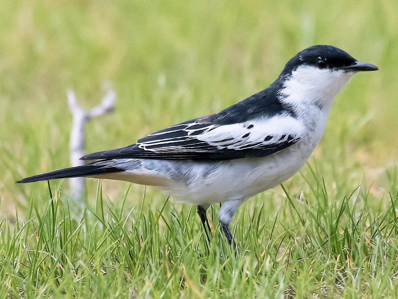 White-winged Triller - Terence Alexander