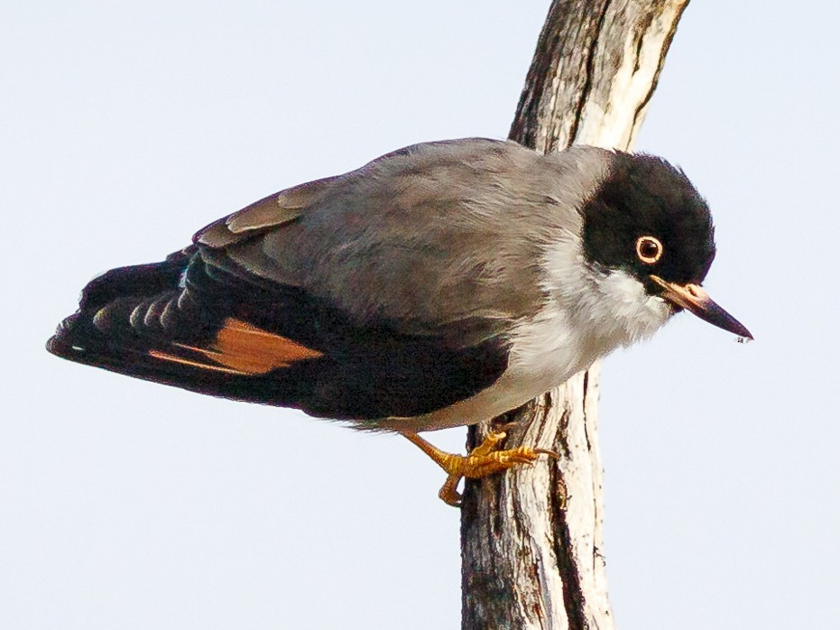 Varied Sittella - Luke Shelley