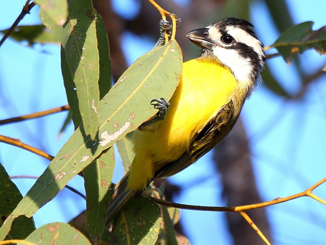 Crested Shrike-tit - Peter Kyne