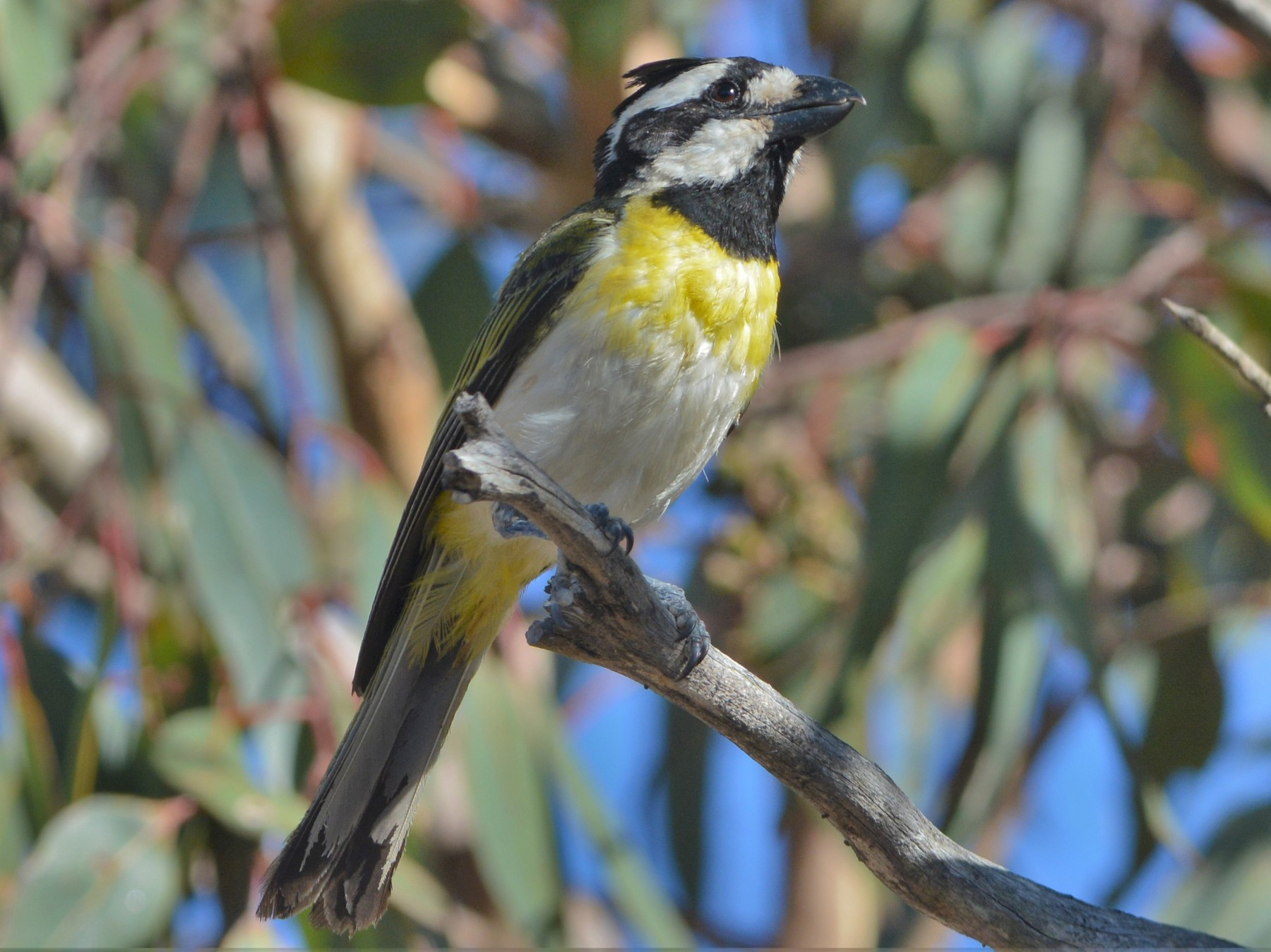 Crested Shrike-tit - David Hollie