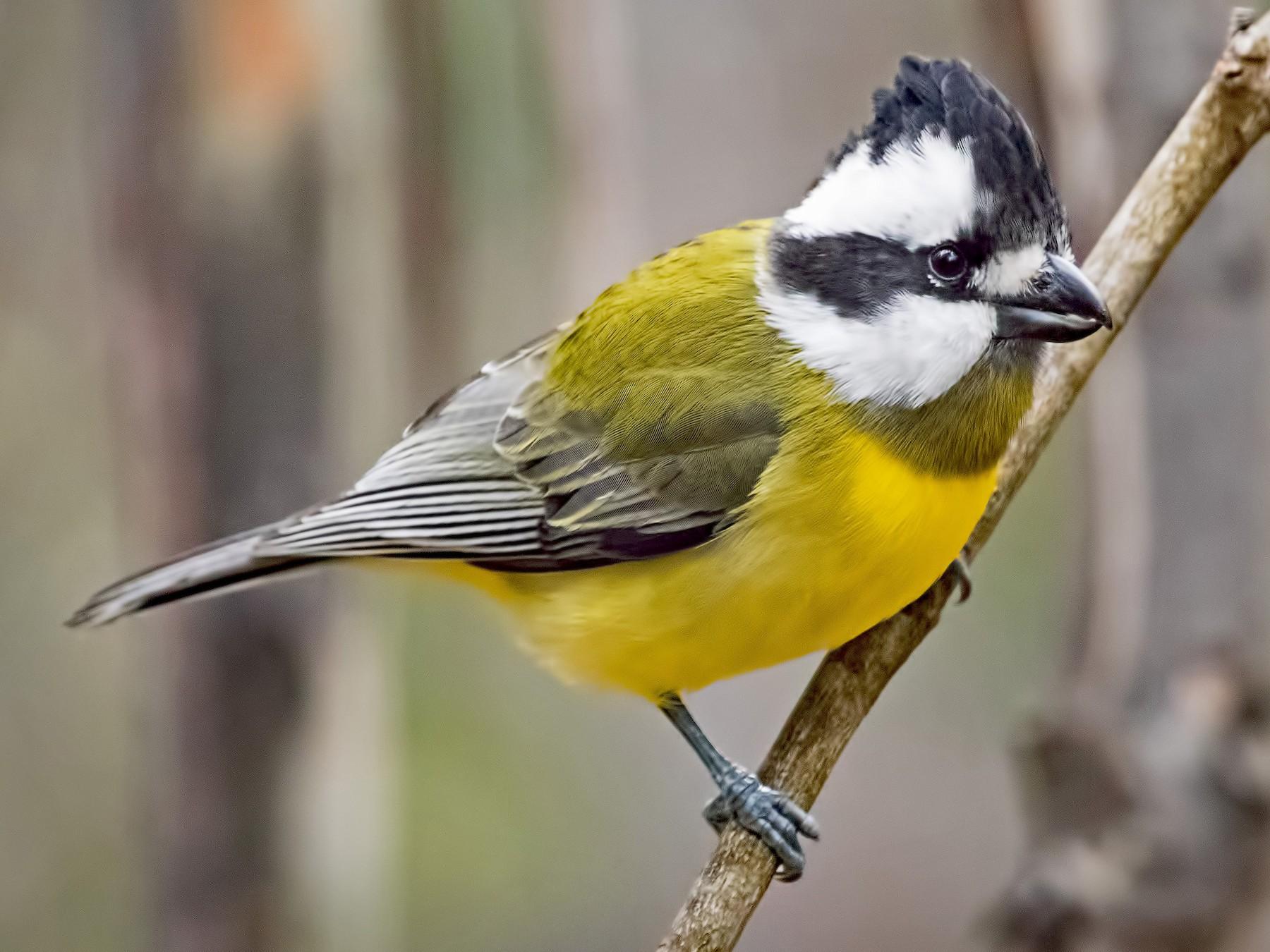 Crested Shrike-tit - Julie Clark