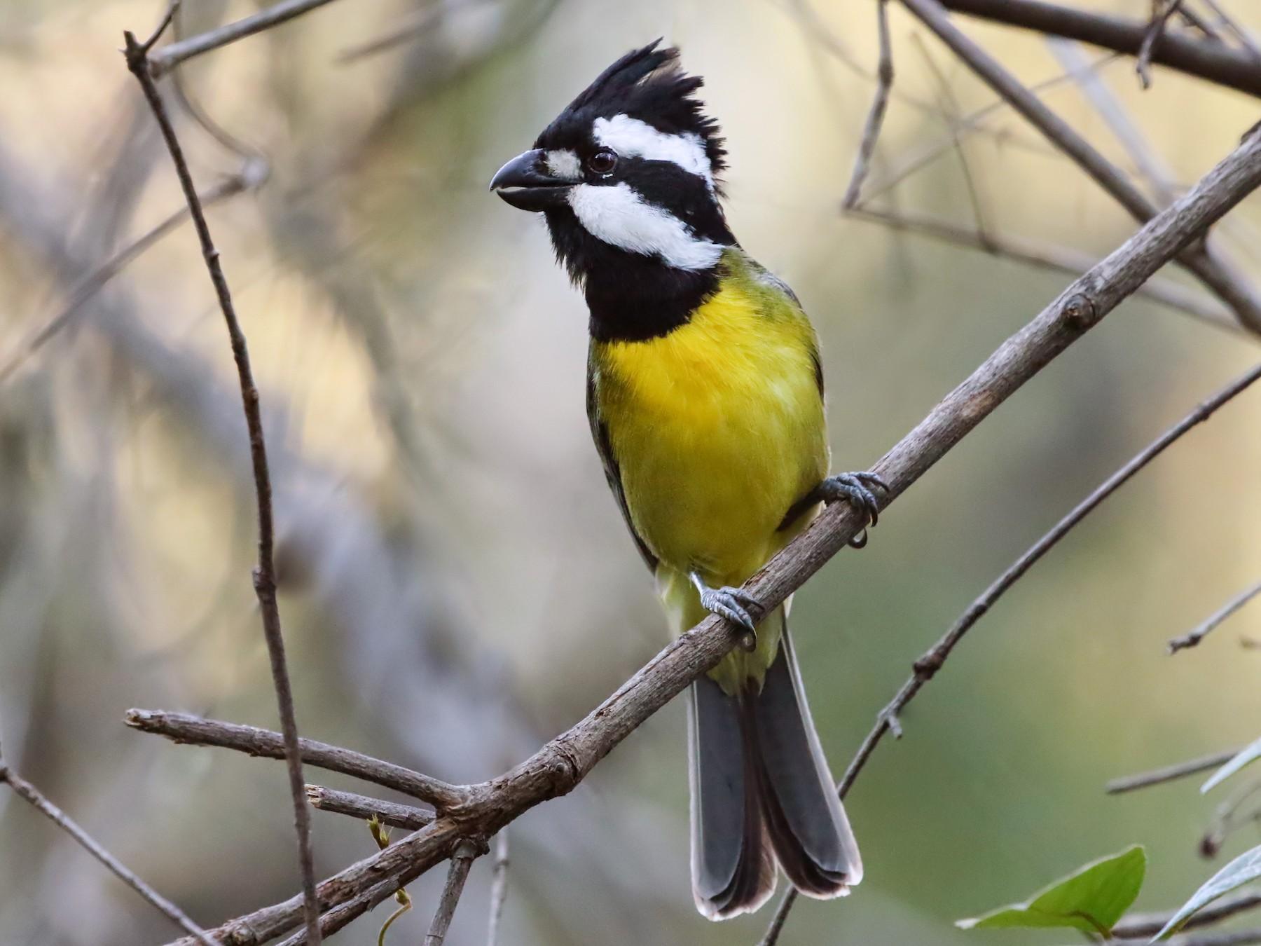 Crested Shrike-tit - David Ongley
