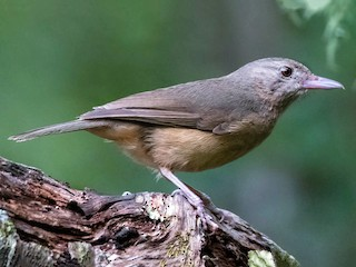 - Little Shrikethrush