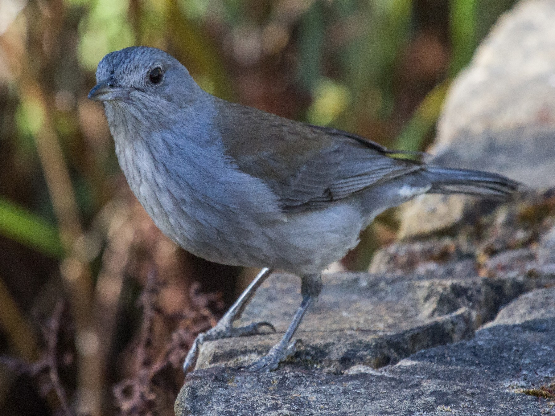 Gray Shrikethrush - Ramit Singal