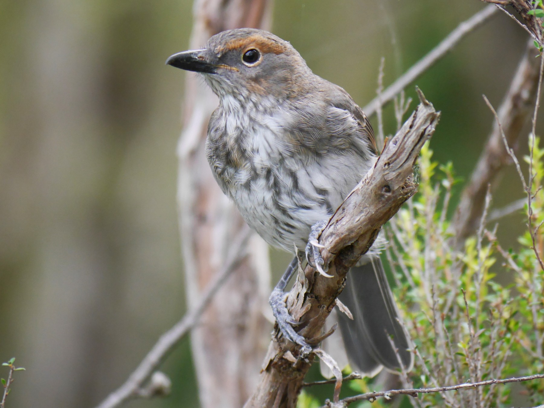 Gray Shrikethrush - Jenny Stiles