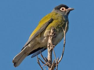 - Australasian Figbird