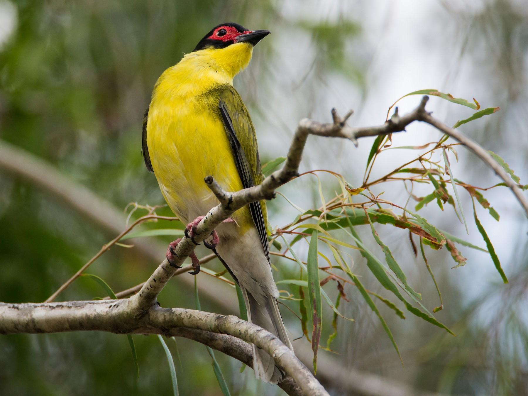 Australasian Figbird - Jan Lile