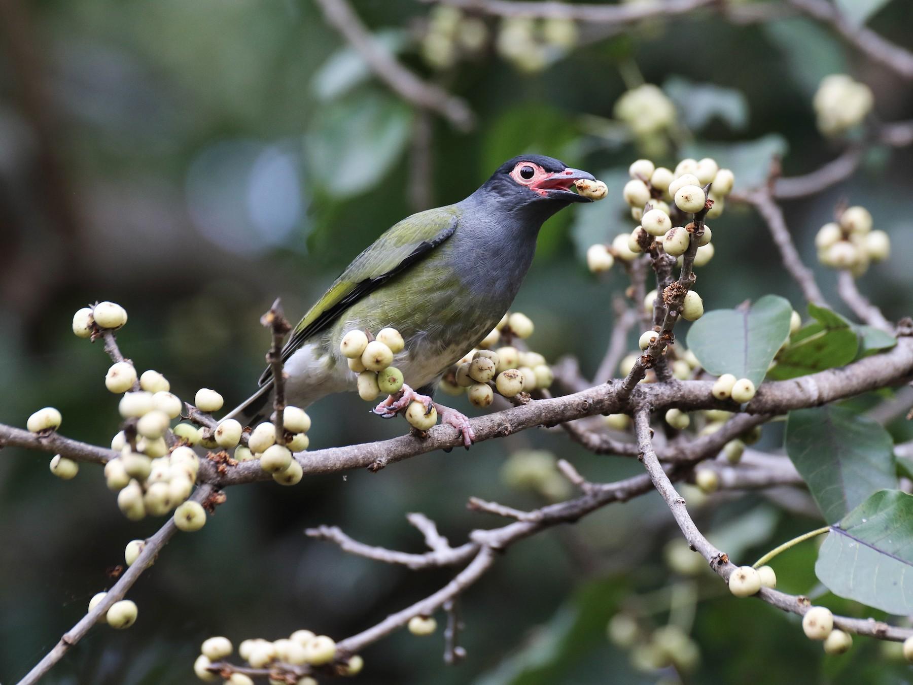 Australasian Figbird - Chris Barnes