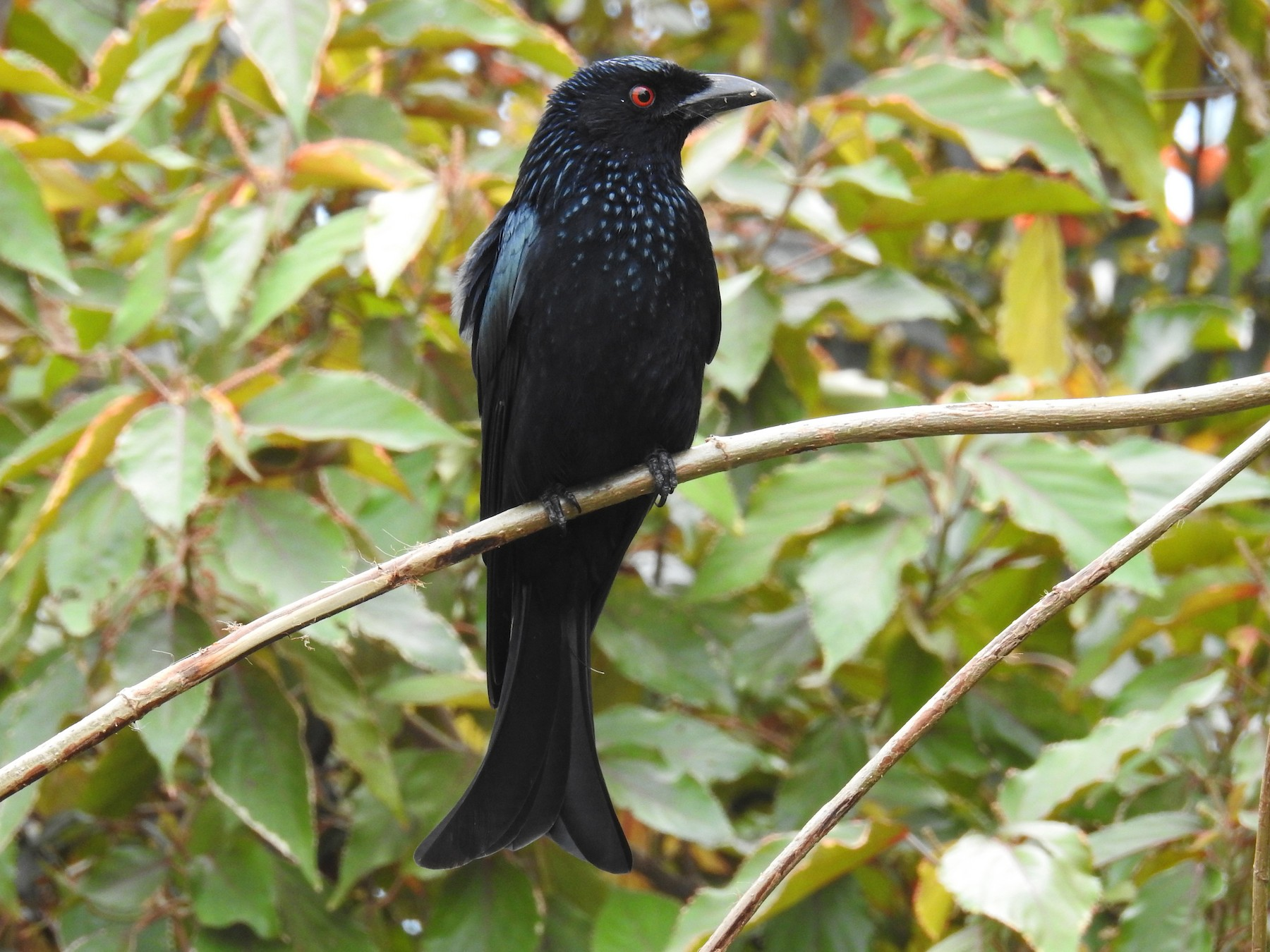 Spangled Drongo - Alistair and Carmen Drake