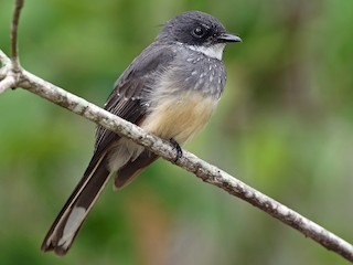 - Northern Fantail