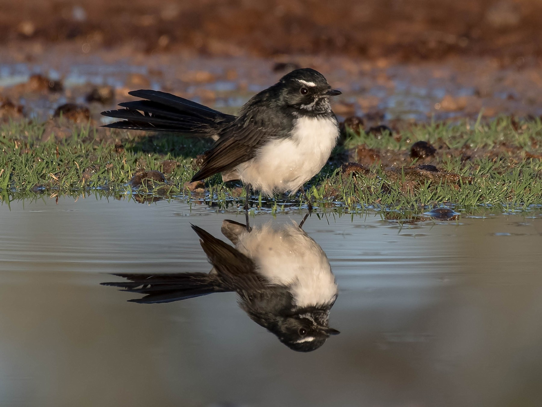 Willie-wagtail - Terence Alexander
