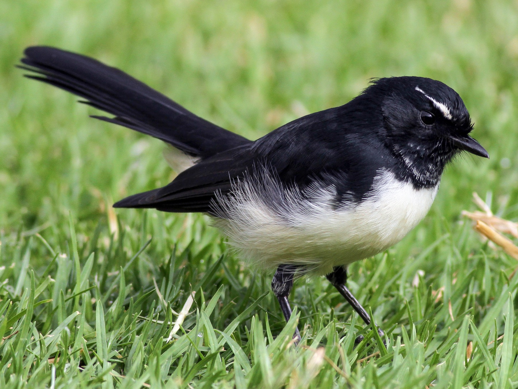 Willie-wagtail - Evan Lipton