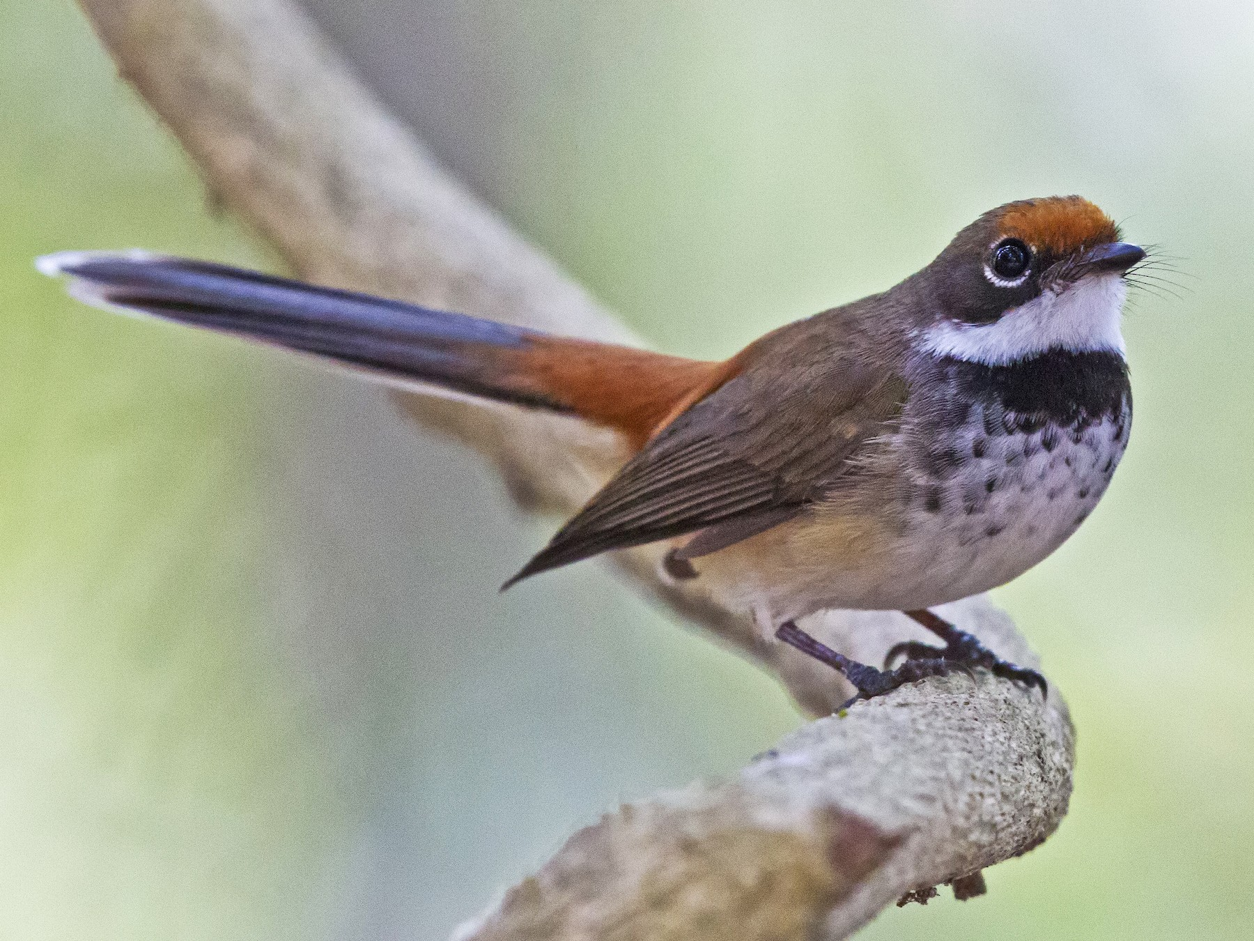Arafura Fantail - Mat Gilfedder