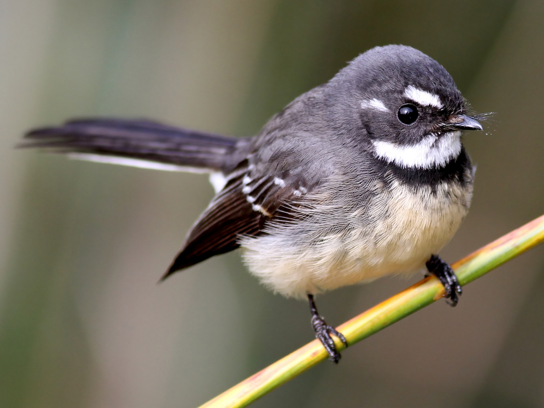 Grey Fantail Ebird Hide content and notifications from this user. grey fantail ebird