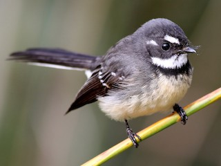 - Gray Fantail