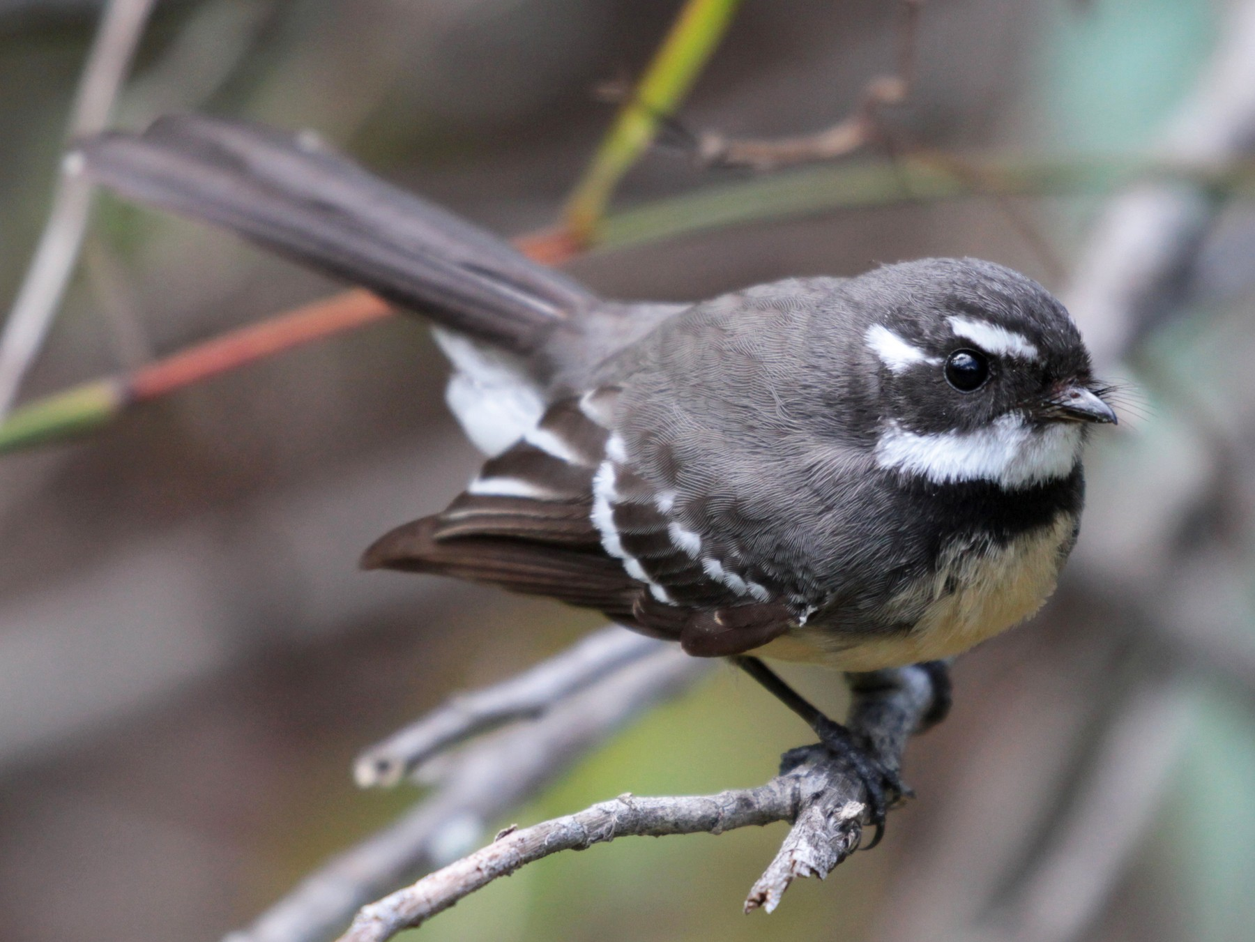 Gray Fantail - Corey Callaghan