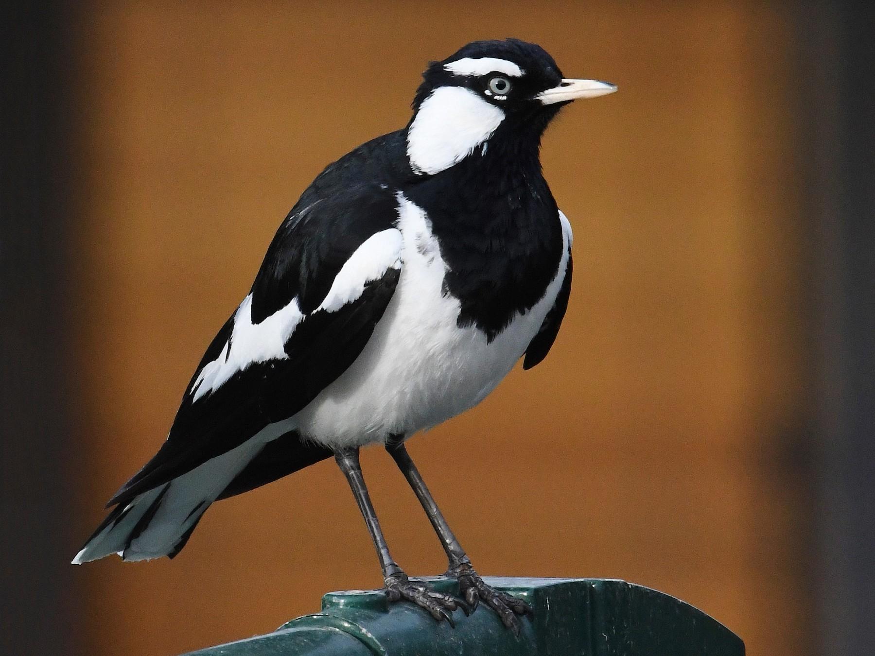 Magpie-lark - Terence Alexander
