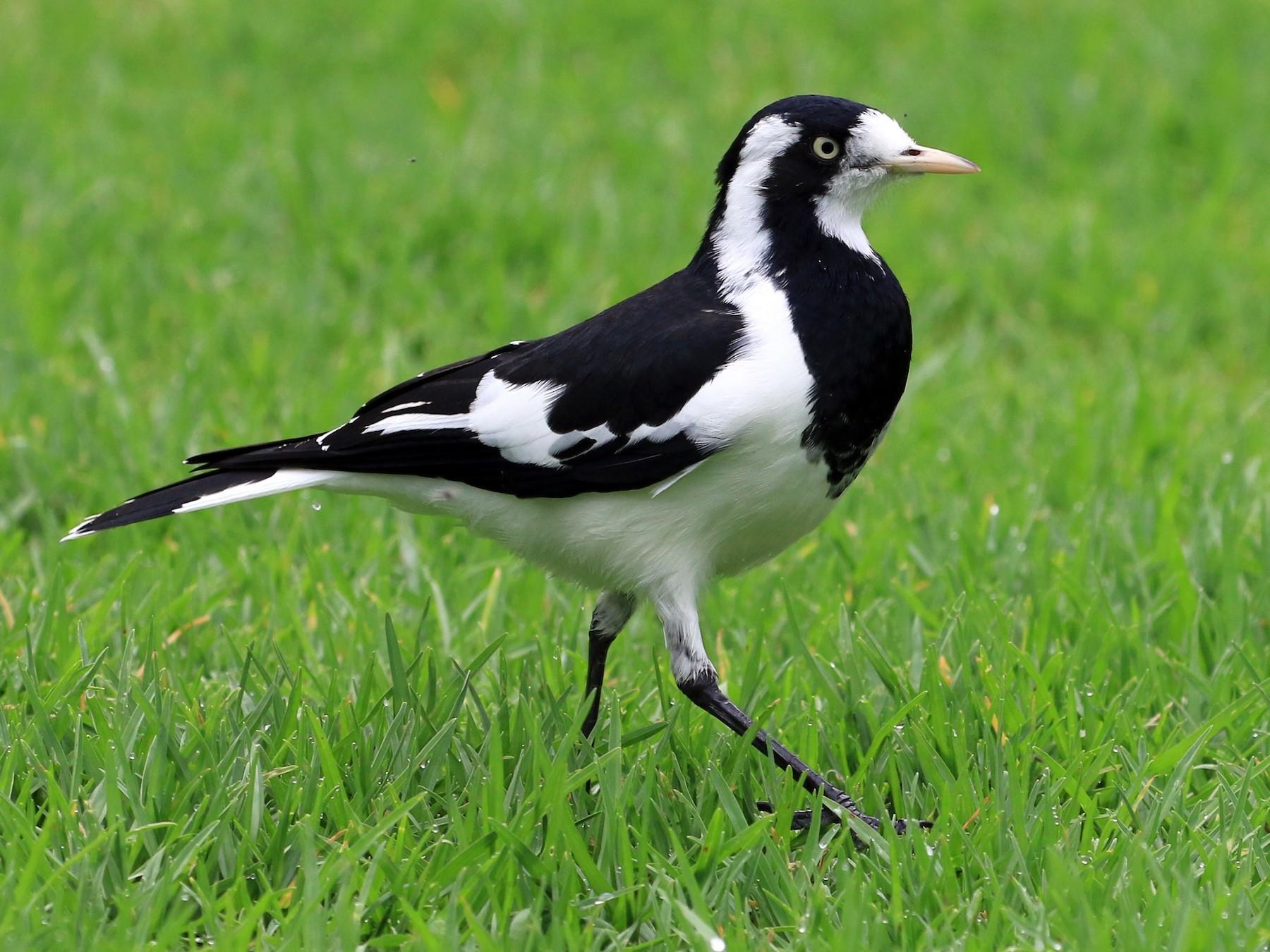 Magpie-lark - Patrick MONNEY