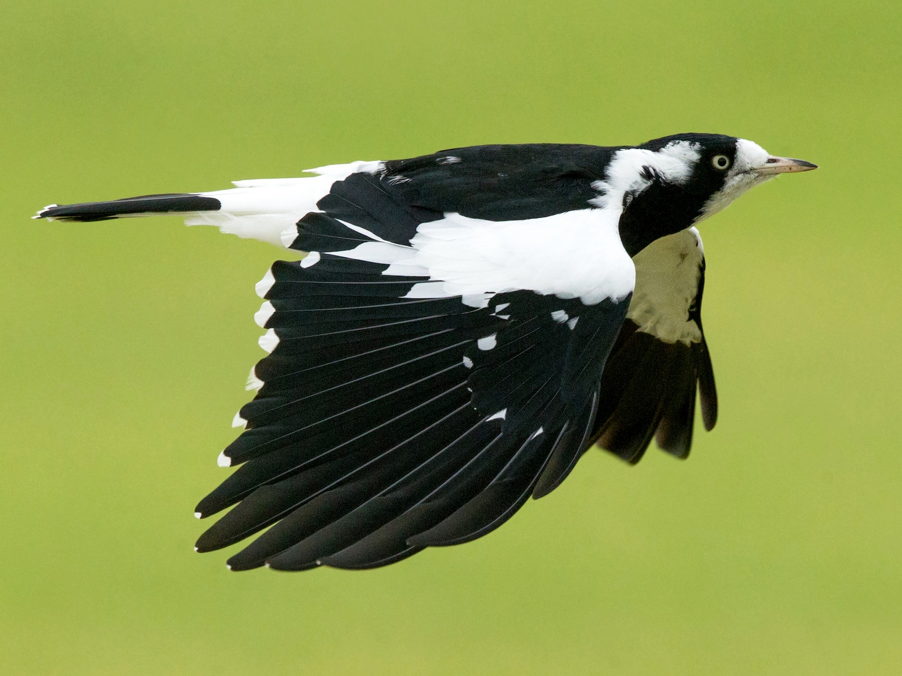Magpie-lark - David Irving