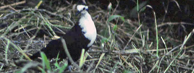 Caroline Islands Ground Dove