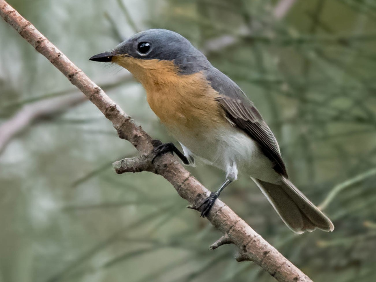 Leaden Flycatcher - Hayley Alexander