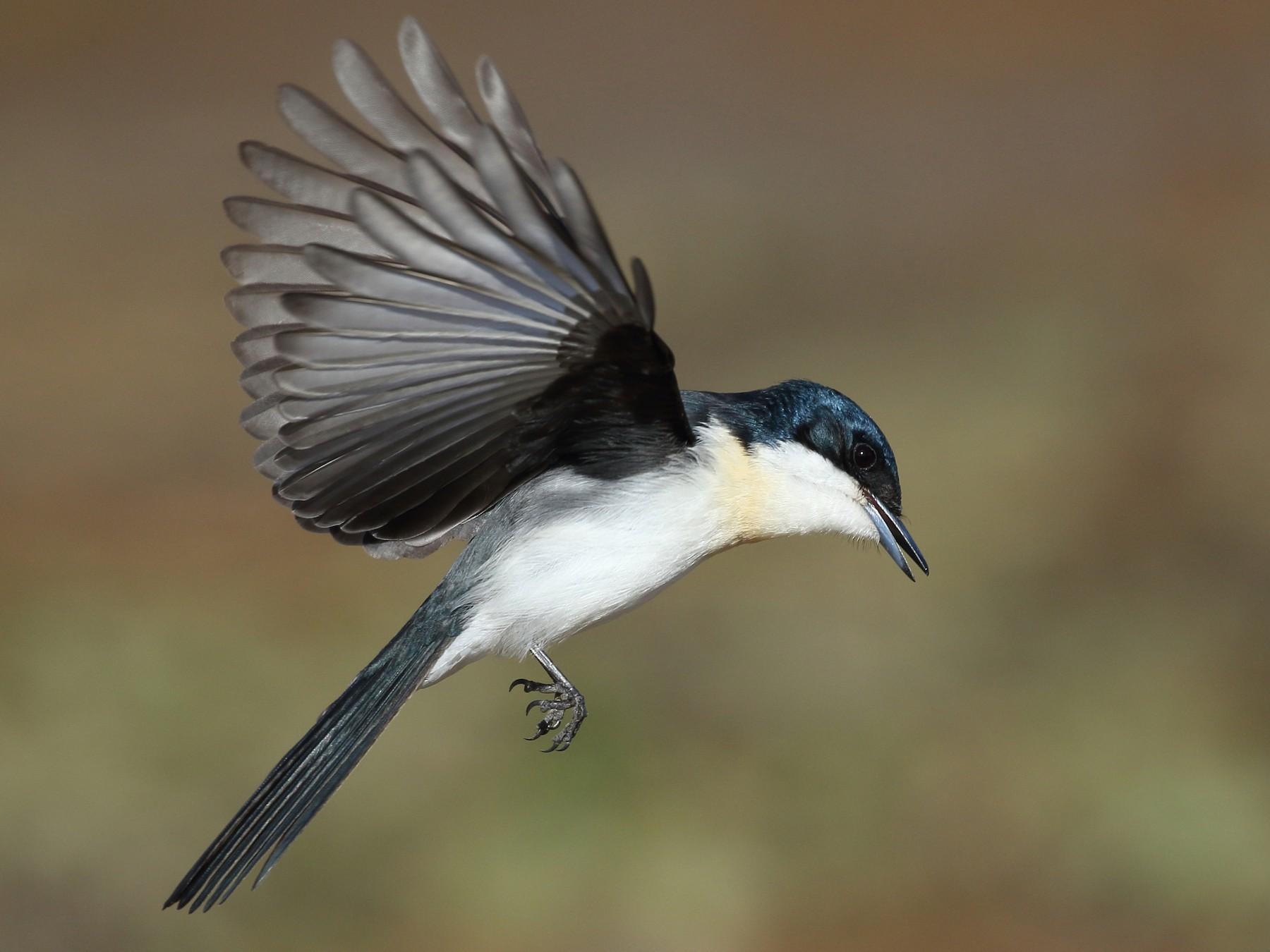 Restless Flycatcher - Michael Rutkowski