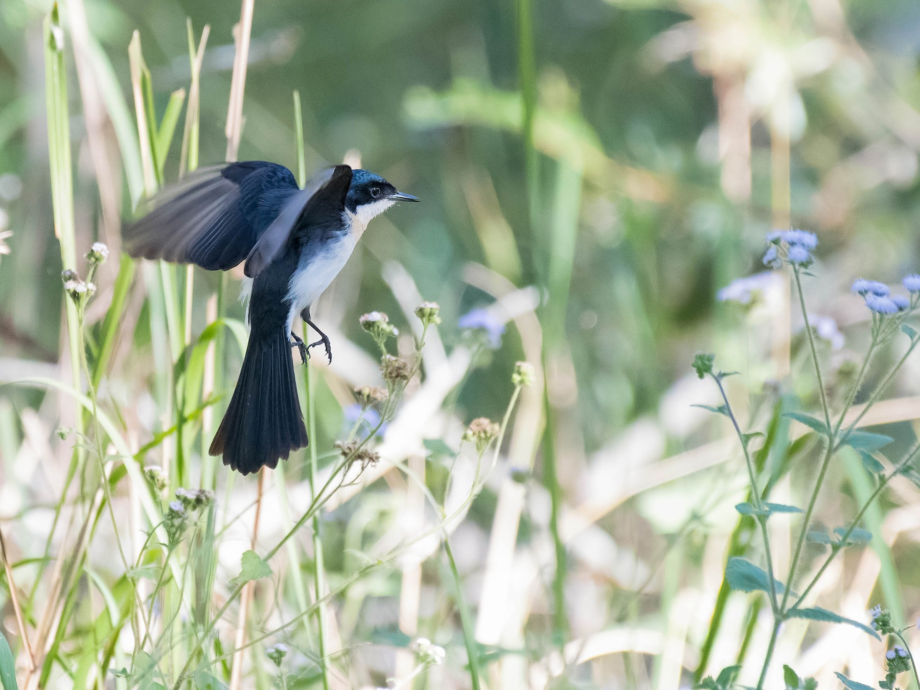 Restless Flycatcher - Terence Alexander