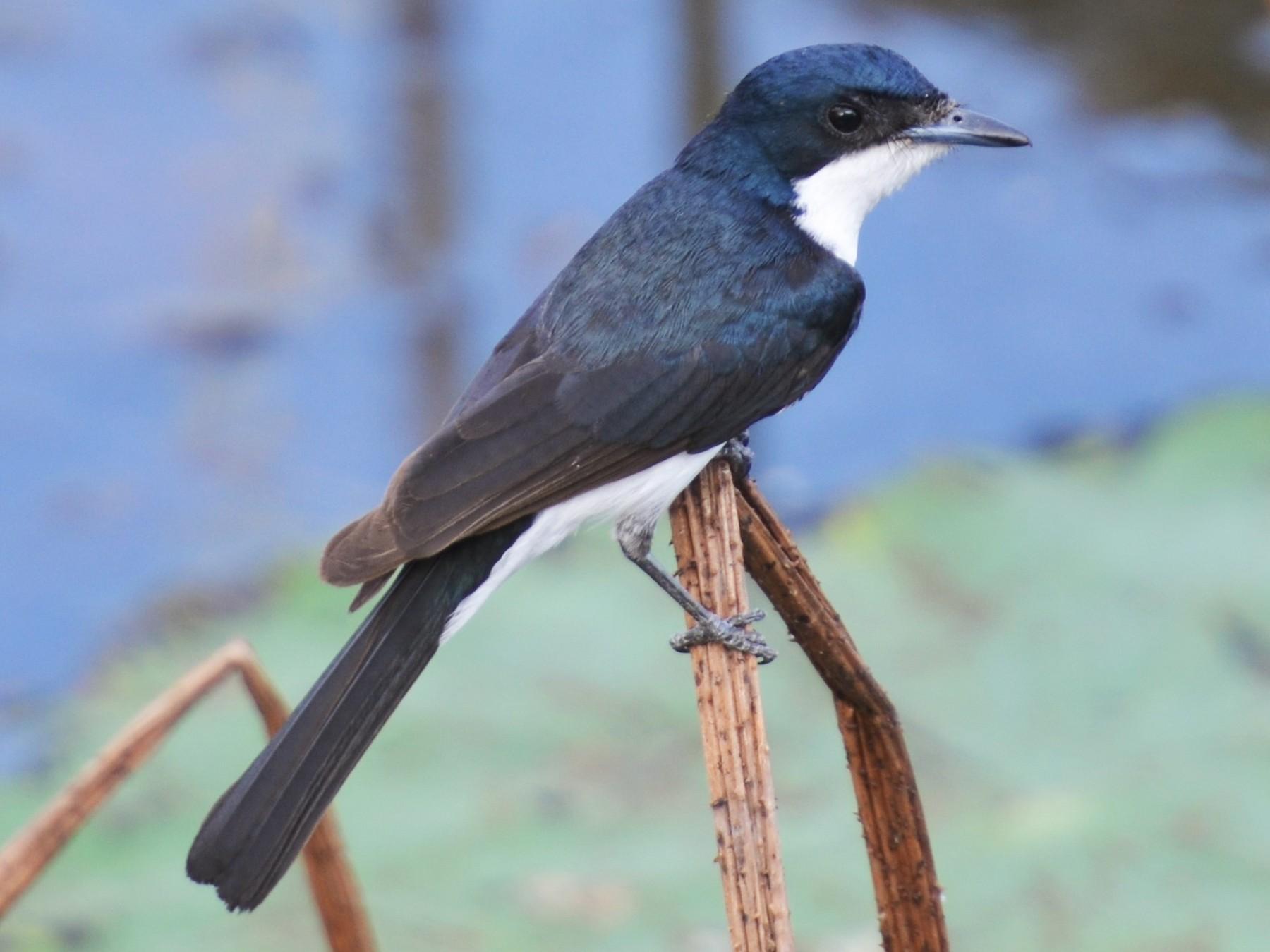 Paperbark Flycatcher - Dirk Tomsa
