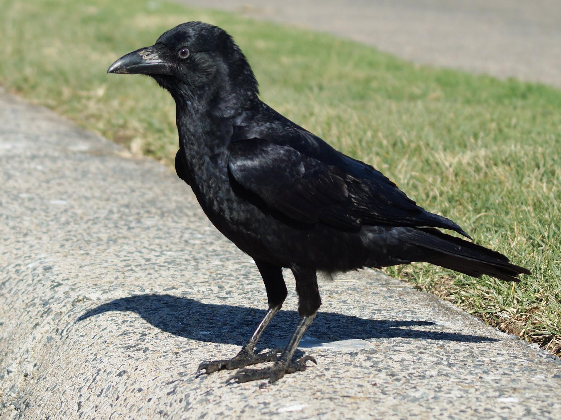 Torresian Crow - Sara Young
