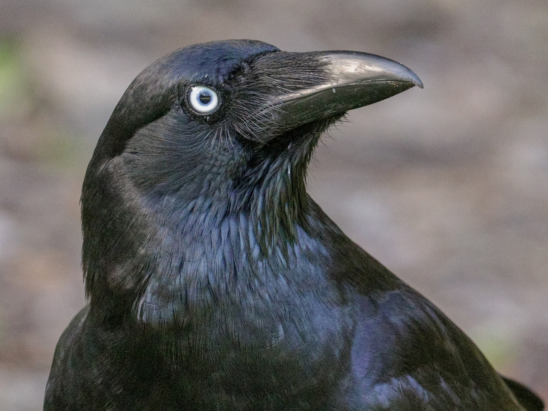 Torresian Crow - Tommy Pedersen