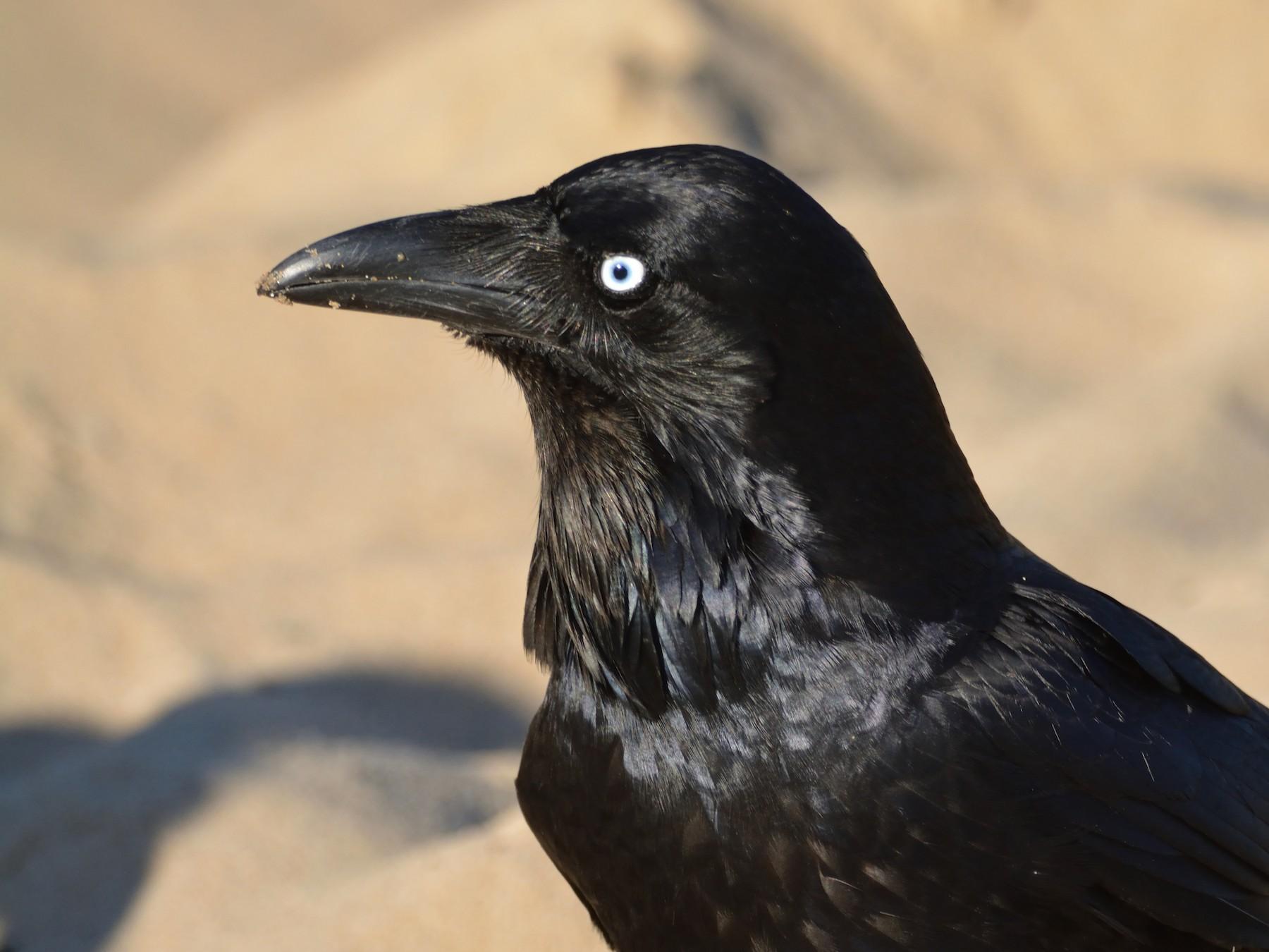 Australian Raven - Andrew Schopieray