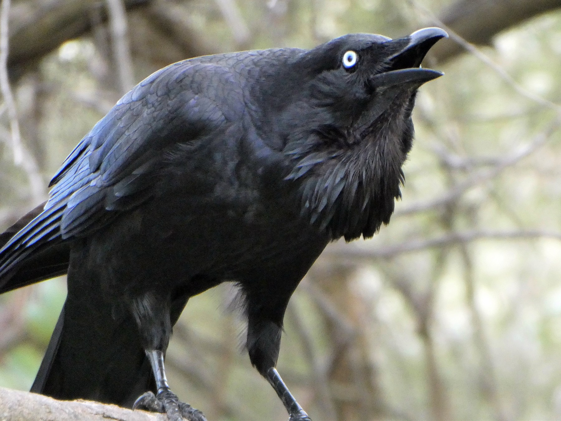 Australian Raven - Shelley Altman