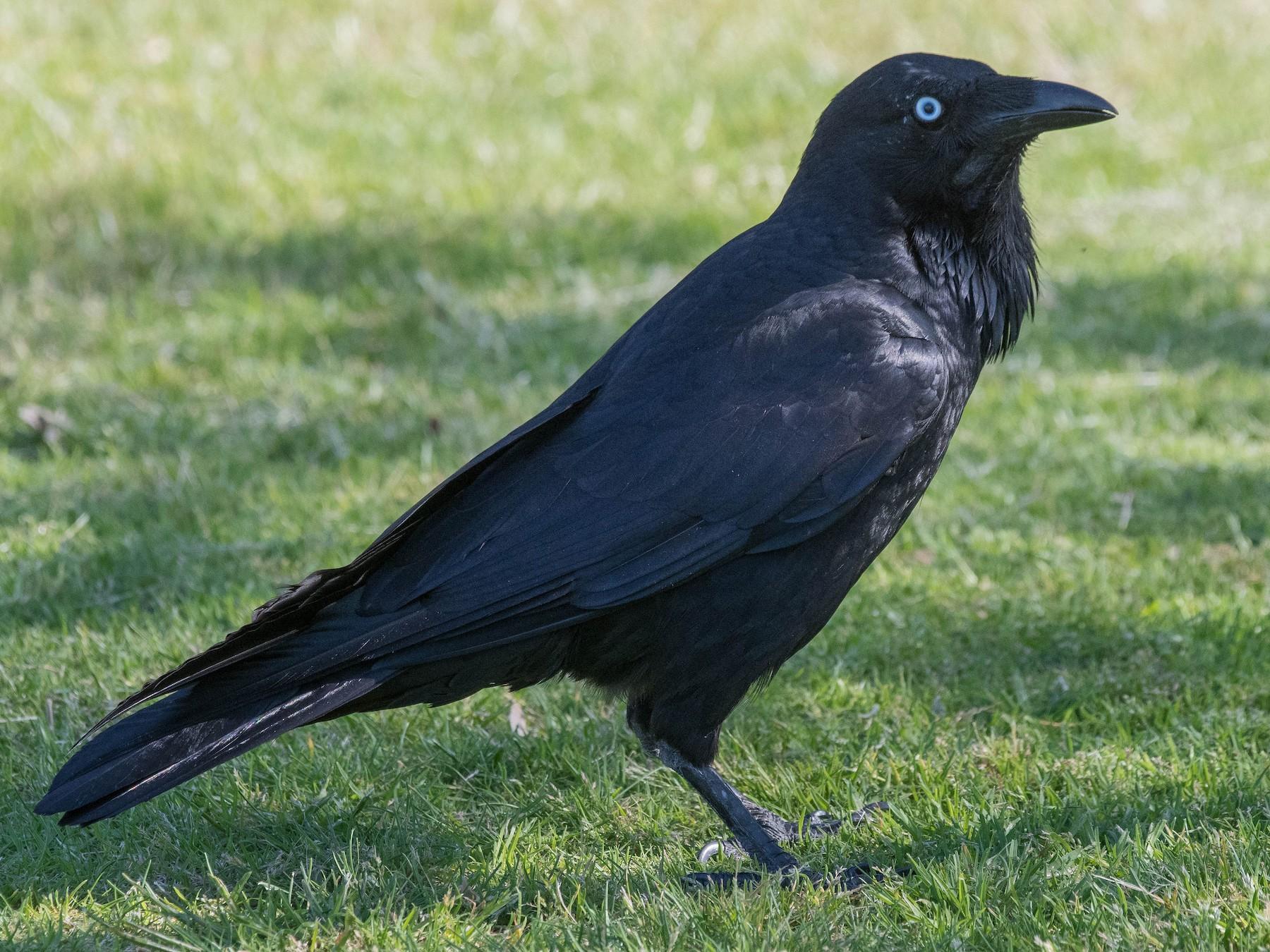 Australian Raven - Terence Alexander